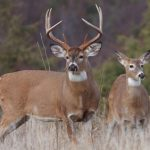 Whitetail_Deer-Hunting